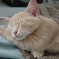 В добрые руки, котенок, окрас персиковый