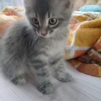 В добрые руки, котенок, окрас серый, пушистый