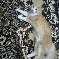 Пропал кот, окрас рыже-белый