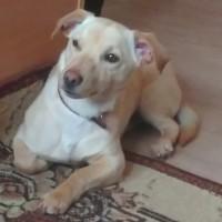 Пропала собака, окрас персиковый