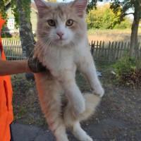 В добрые руки, котенок, окрас персиково-белый