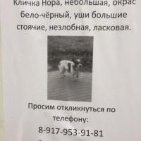 Пропала собака, окрас бело-черный
