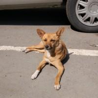 В добрые руки, собака, окрас рыжий, белые лапы и грудка