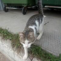 Найден кот, окрас серо-белый, полосатый