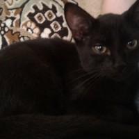 Найден котёнок, окрас черный