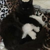 Пропала кошка, окрас черный