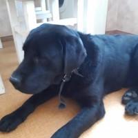 Найден пёс, порода лабрадор, окрас черный