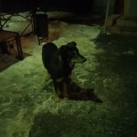 Найдена собака, окрас черно-коричневый с ошейником