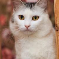 В добрые руки, кот, окрас белый с серыми пятнами