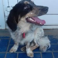 Найден пес, помесь таксы и спаниеля, окрас смешанный