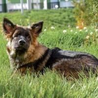 В добрые руки, пёс, окрас черно-коричневый