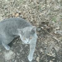 Найден кот, британец, окрас дымчатый