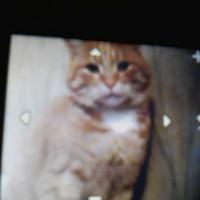 Пропал рыже-белый кот