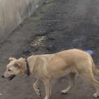 Найдена собака, окрас бежевый