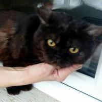 В добрые руки, кот, окрас черный с рыжицой