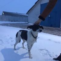 В добрые руки, собака, окрас бело-черный