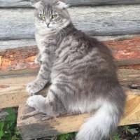 В добрые руки, кошка, серый окрас
