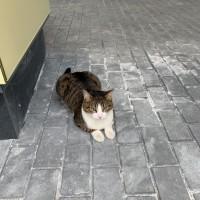 Найдена кошка окрас черепаший