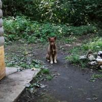 Найдена собака и щенки, порода хаски