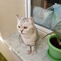 Найдена кошка, окрас серо-белый