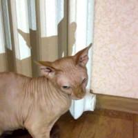 Найден кот, порода сфинкс окрас персиковый