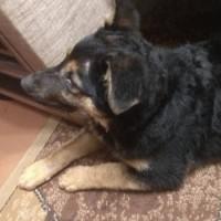Найден щенок, черно-коричневый