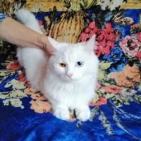 Найден кот, окрас белый