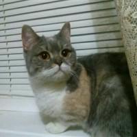 Потерялась кошка, окрас серо-белый с рыжими пятнами