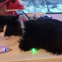 Пропал кот, окрас черный с белыми пятнами
