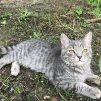 Найдена котенок, окрас серый