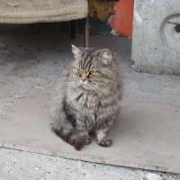 В добрые руки, кот, окрас камышовый, пушистый