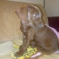 Найден щенок, окрас коричневый