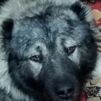 Пропал пёс, порода кавказская овчарка