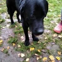 Найден пёс, порода лабрадор, окрас чёрный