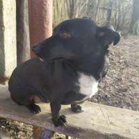 Найдена собака, окрас черный с белой грудкой