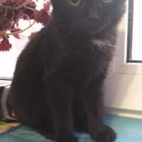 Найден котенок, окрас черный, на груди белое пятно