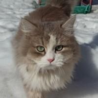 Найдена кошка, цвет коричнево-белый