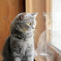 В добрые руки, кошка, окрас серый