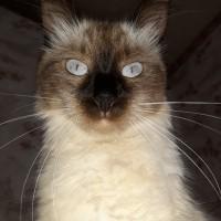 Потерялась кошка, окрас сиамский, пушистая