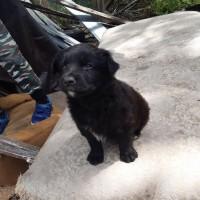 В добрые руки, щенок, окрас черный