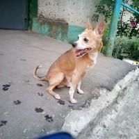 Найден пес, окрас рыжий