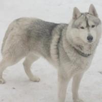 Пропала собака, порода сибирский хаски, окрас серо-белый