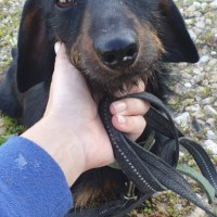 Найден пес, порода такса