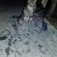 Потерялась собака, порода лайка, окрас серый