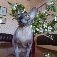 Потерялась кошка, порода сфинкс