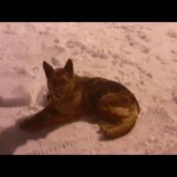 Найдена собака, порода немецкая овчарка