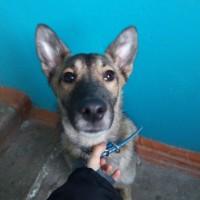 Найдена собака, окрас коричнево-серый