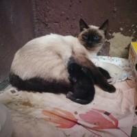 В добрые руки, кошка и котята, окрас сиамский