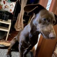 Найден пёс, окрас темно-коричневый