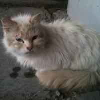 Нашли кошку, окрас светлый